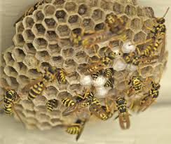 Wasps building brood comb