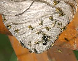 Paper wasp nest at end of summer